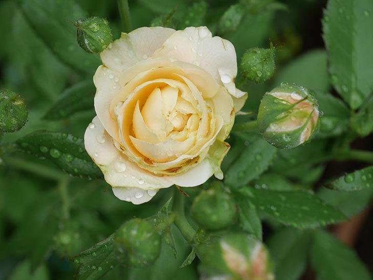 ラ・ドルチェ・ヴィータ(La Dolce Vita)の花が咲いた。木立バラ。2020年-004.jpg