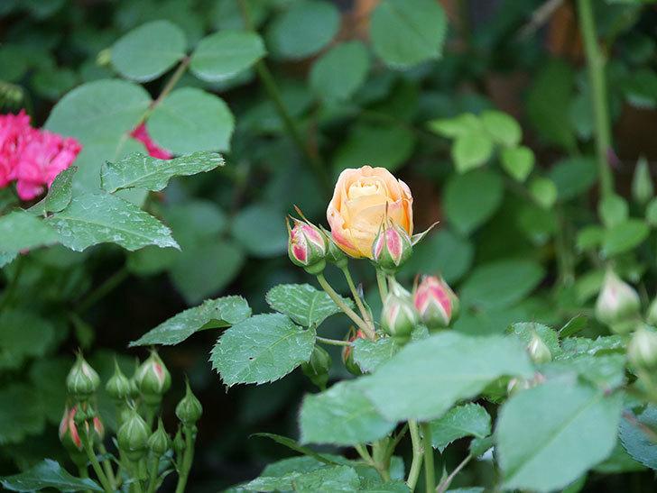 ラ・ドルチェ・ヴィータ(La Dolce Vita)の花が咲いた。木立バラ。2021年-001.jpg