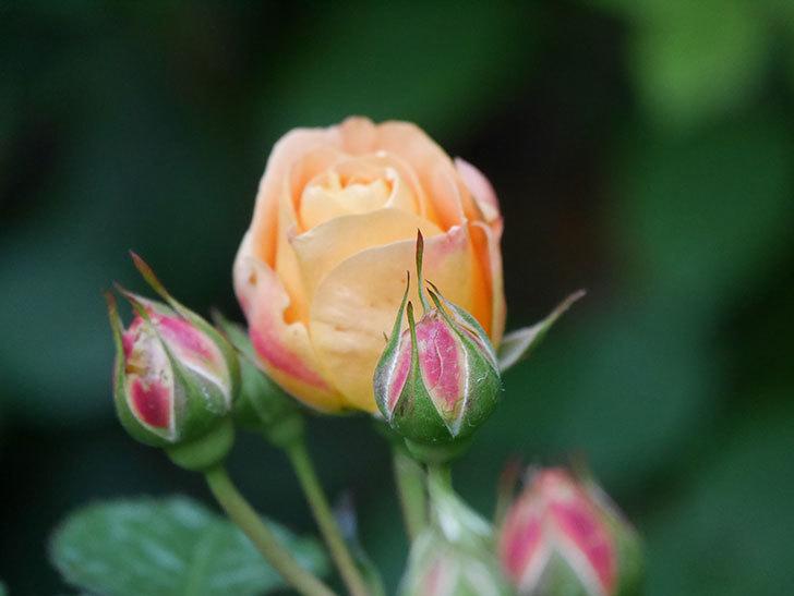 ラ・ドルチェ・ヴィータ(La Dolce Vita)の花が咲いた。木立バラ。2021年-003.jpg