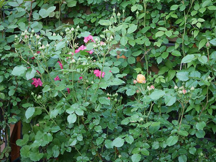 ラ・ドルチェ・ヴィータ(La Dolce Vita)の花が咲いた。木立バラ。2021年-006.jpg