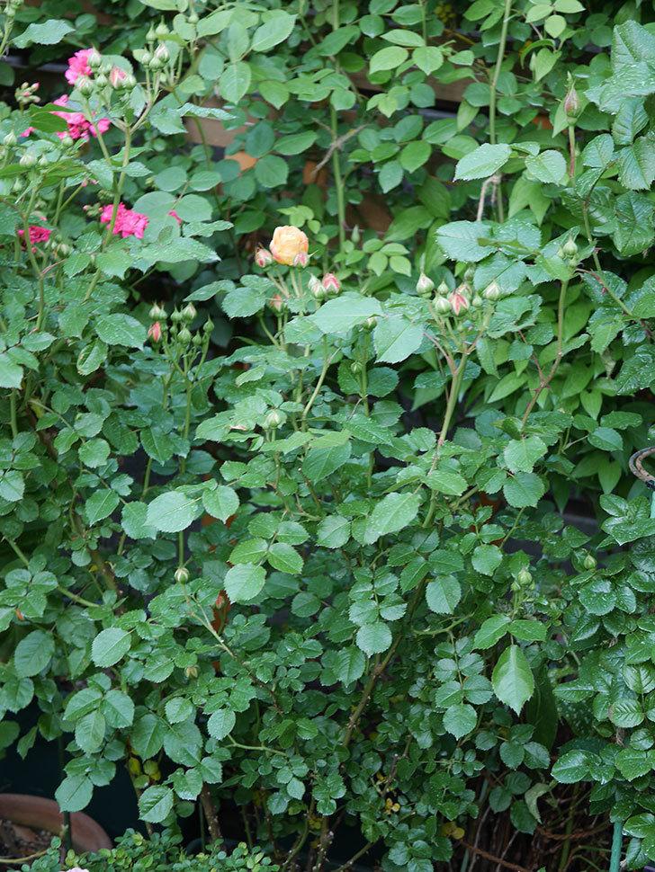 ラ・ドルチェ・ヴィータ(La Dolce Vita)の花が咲いた。木立バラ。2021年-007.jpg