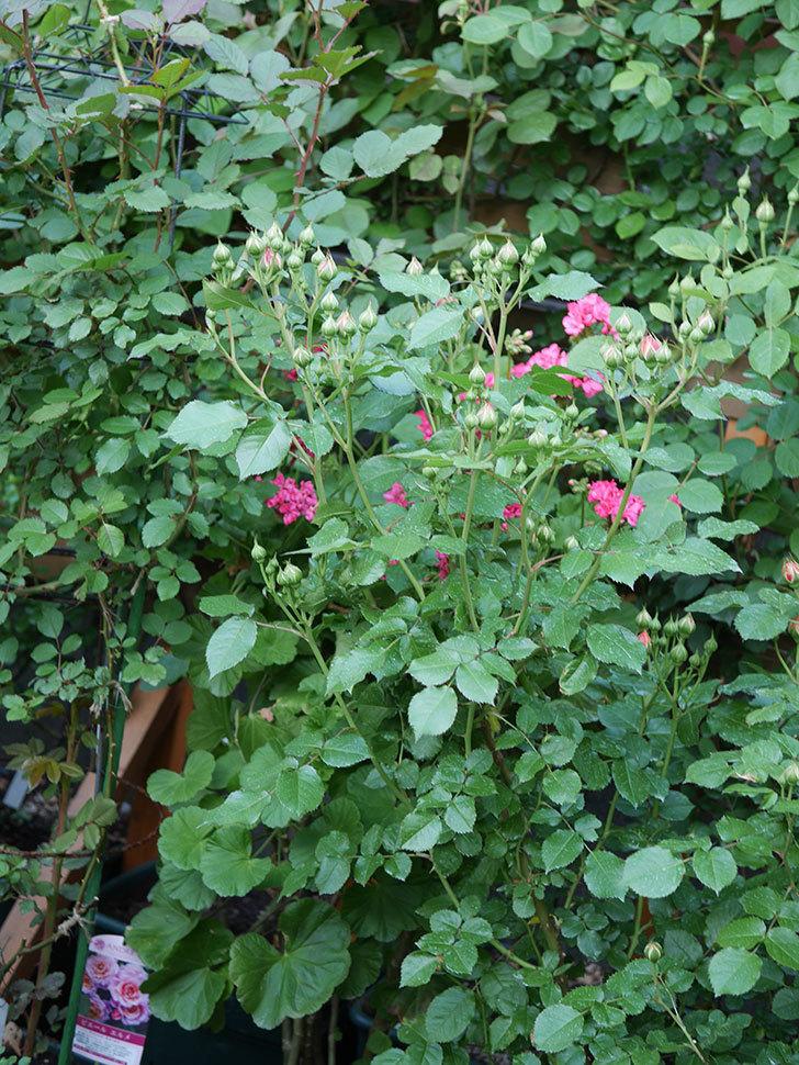 ラ・ドルチェ・ヴィータ(La Dolce Vita)の花が咲いた。木立バラ。2021年-008.jpg