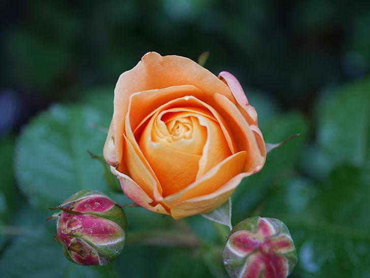 ラ・ドルチェ・ヴィータ(La Dolce Vita)の花が咲いた。木立バラ。2021年-009.jpg