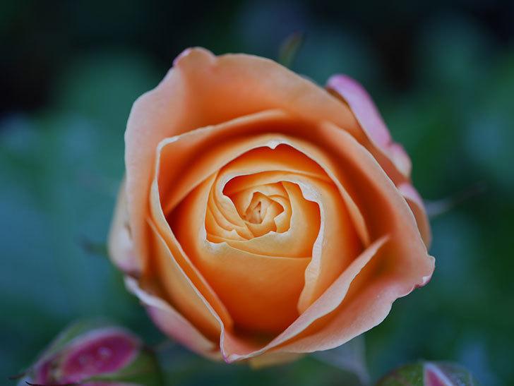 ラ・ドルチェ・ヴィータ(La Dolce Vita)の花が咲いた。木立バラ。2021年-010.jpg