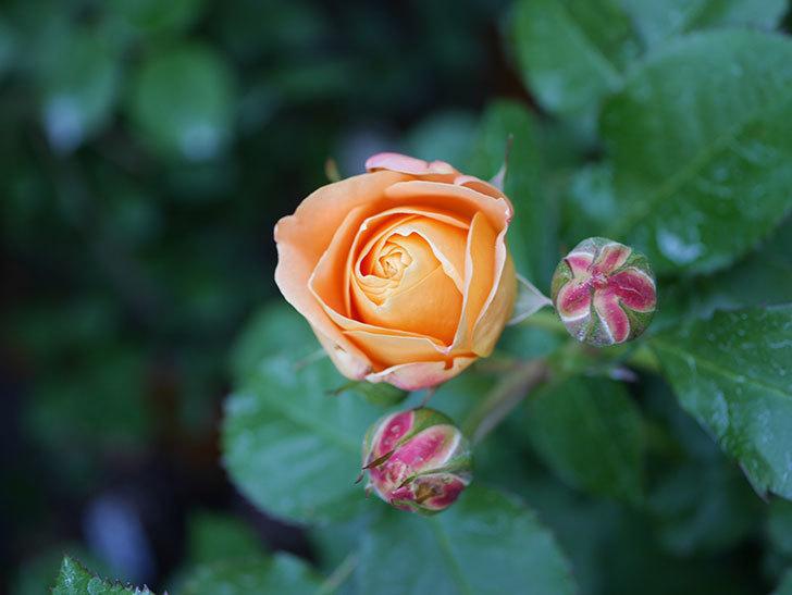 ラ・ドルチェ・ヴィータ(La Dolce Vita)の花が咲いた。木立バラ。2021年-012.jpg