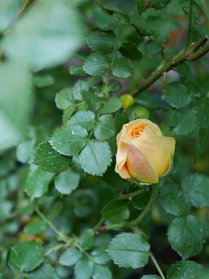 ラ・ドルチェ・ヴィータ(La Dolce Vita)の花が咲いた。木立バラ。2021年-014.jpg