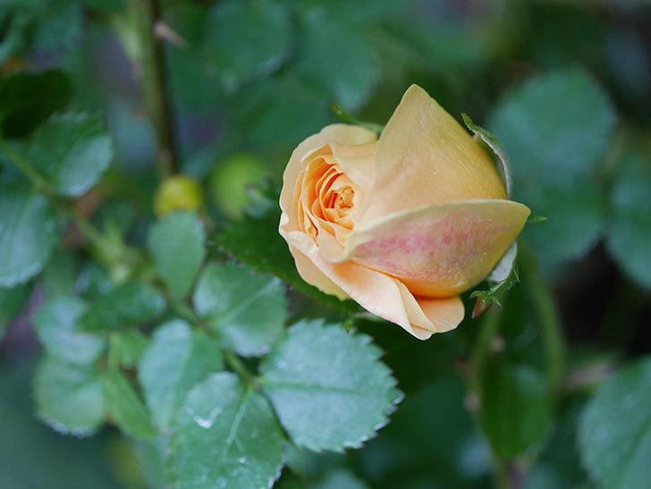 ラ・ドルチェ・ヴィータ(La Dolce Vita)の花が咲いた。木立バラ。2021年-016.jpg
