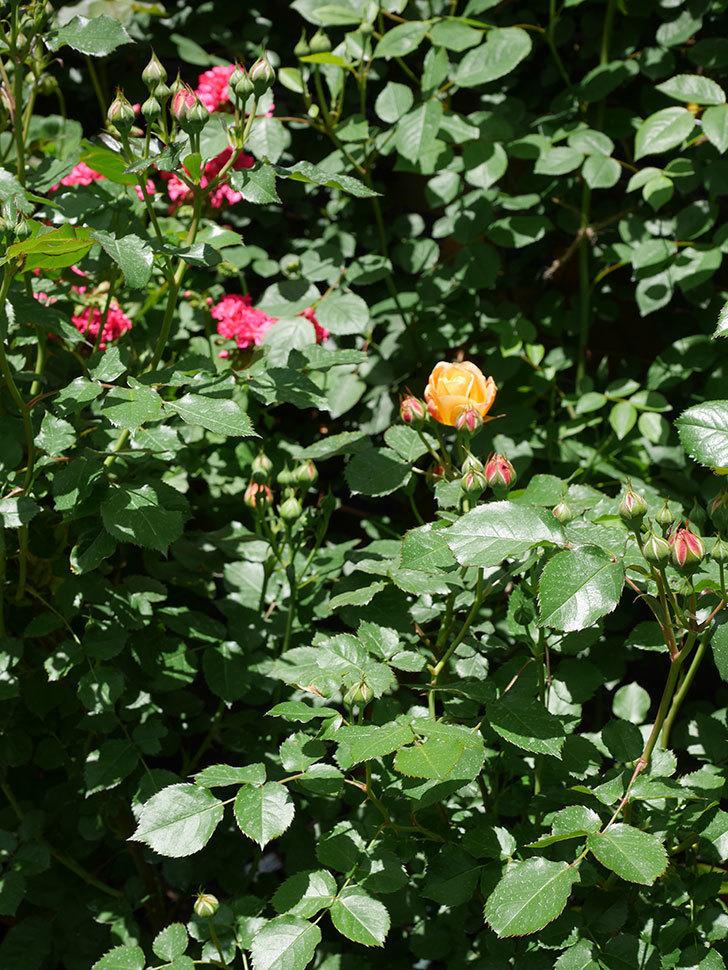 ラ・ドルチェ・ヴィータ(La Dolce Vita)の花が咲いた。木立バラ。2021年-017.jpg