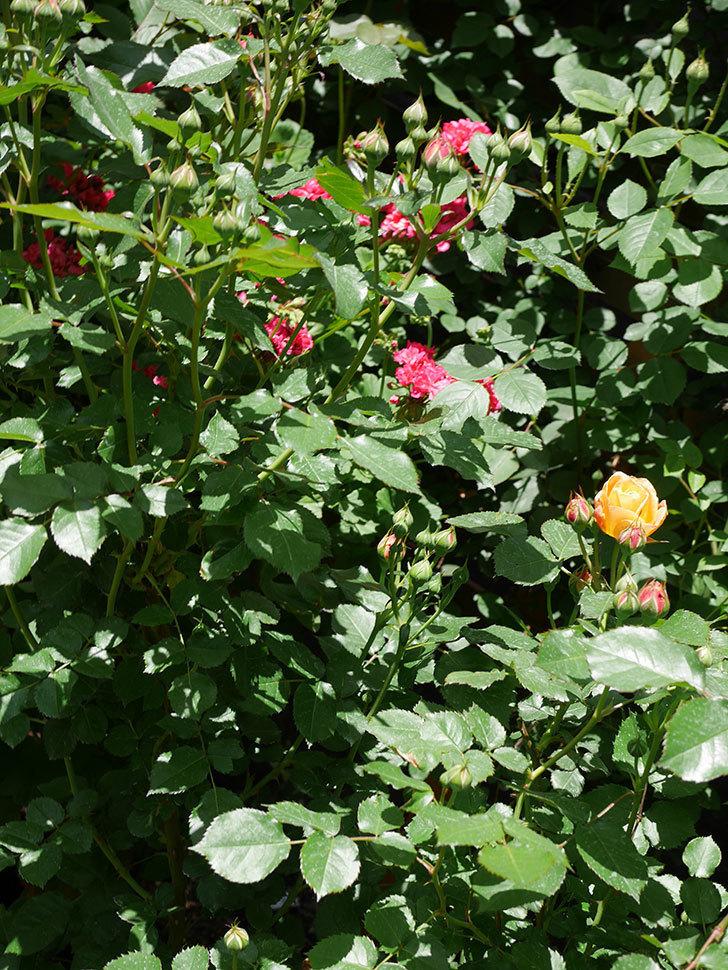 ラ・ドルチェ・ヴィータ(La Dolce Vita)の花が咲いた。木立バラ。2021年-018.jpg