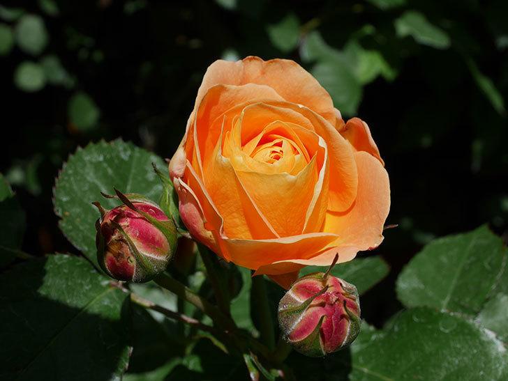 ラ・ドルチェ・ヴィータ(La Dolce Vita)の花が咲いた。木立バラ。2021年-019.jpg