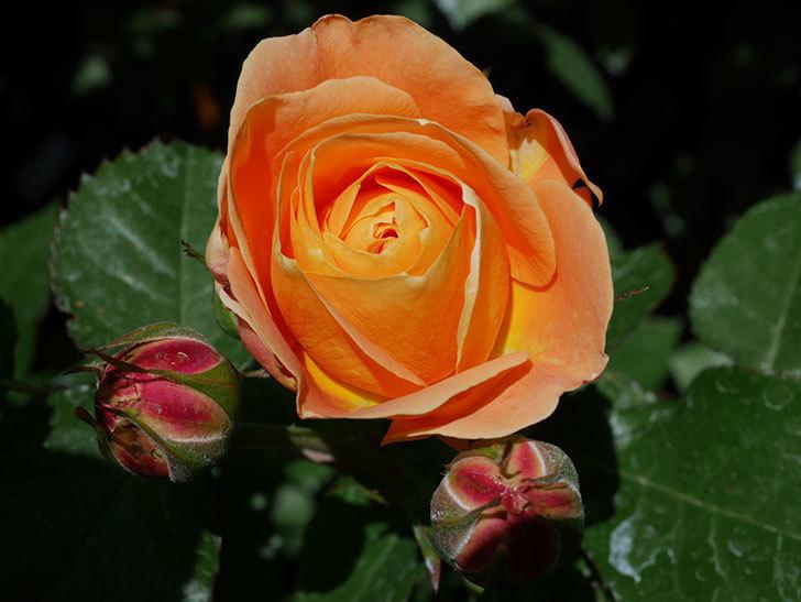 ラ・ドルチェ・ヴィータ(La Dolce Vita)の花が咲いた。木立バラ。2021年-020.jpg