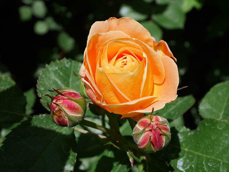 ラ・ドルチェ・ヴィータ(La Dolce Vita)の花が咲いた。木立バラ。2021年-021.jpg