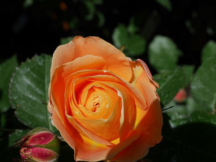 ラ・ドルチェ・ヴィータ(La Dolce Vita)の花が咲いた。木立バラ。2021年-022.jpg