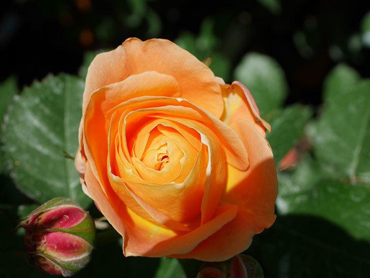 ラ・ドルチェ・ヴィータ(La Dolce Vita)の花が咲いた。木立バラ。2021年-023.jpg