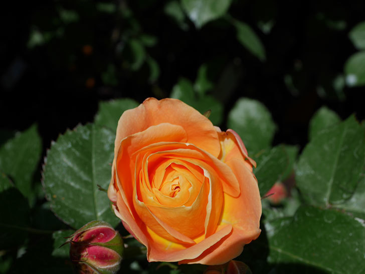 ラ・ドルチェ・ヴィータ(La Dolce Vita)の花が咲いた。木立バラ。2021年-024.jpg