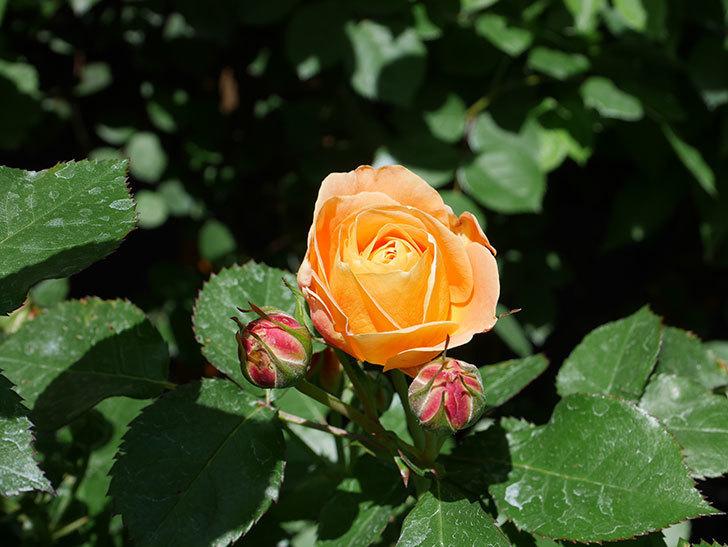 ラ・ドルチェ・ヴィータ(La Dolce Vita)の花が咲いた。木立バラ。2021年-025.jpg