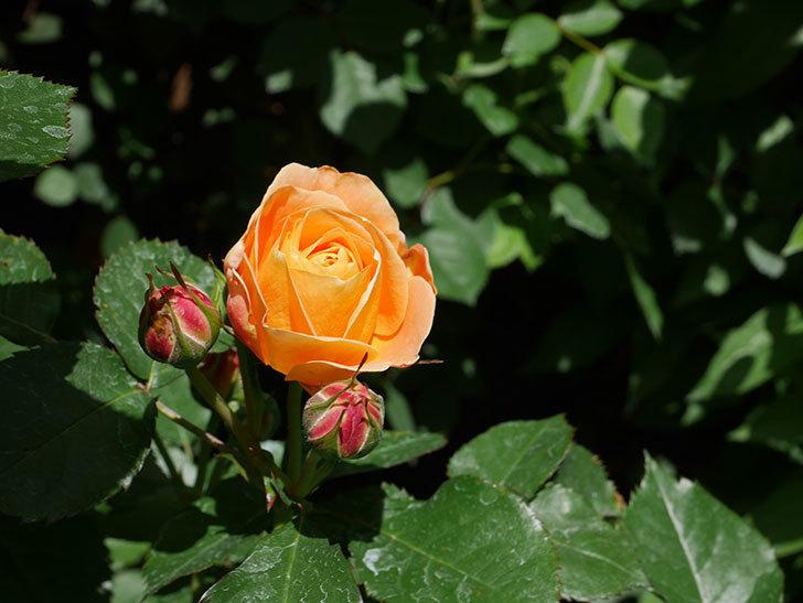 ラ・ドルチェ・ヴィータ(La Dolce Vita)の花が咲いた。木立バラ。2021年-026.jpg