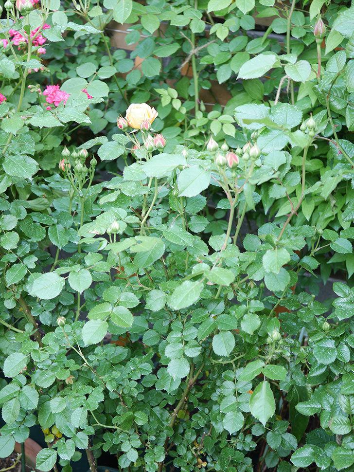 ラ・ドルチェ・ヴィータ(La Dolce Vita)の花が咲いた。木立バラ。2021年-027.jpg