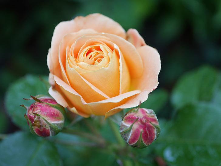 ラ・ドルチェ・ヴィータ(La Dolce Vita)の花が咲いた。木立バラ。2021年-028.jpg