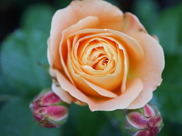 ラ・ドルチェ・ヴィータ(La Dolce Vita)の花が咲いた。木立バラ。2021年-030.jpg