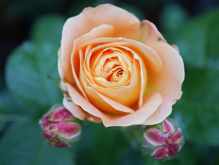 ラ・ドルチェ・ヴィータ(La Dolce Vita)の花が咲いた。木立バラ。2021年-031.jpg