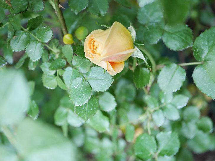 ラ・ドルチェ・ヴィータ(La Dolce Vita)の花が咲いた。木立バラ。2021年-032.jpg