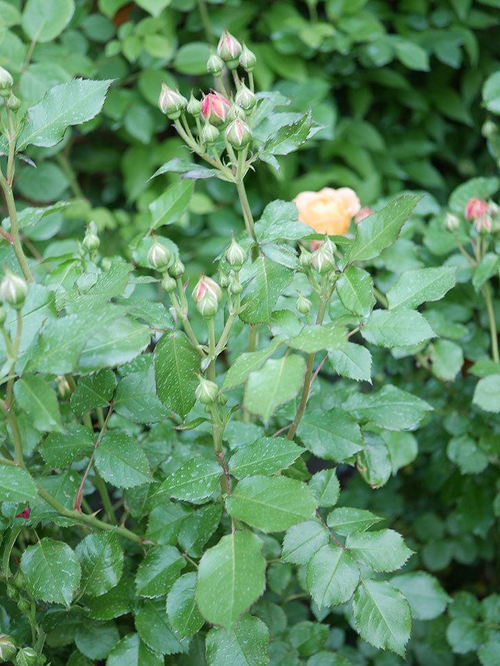 ラ・ドルチェ・ヴィータ(La Dolce Vita)の花が咲いた。木立バラ。2021年-033.jpg