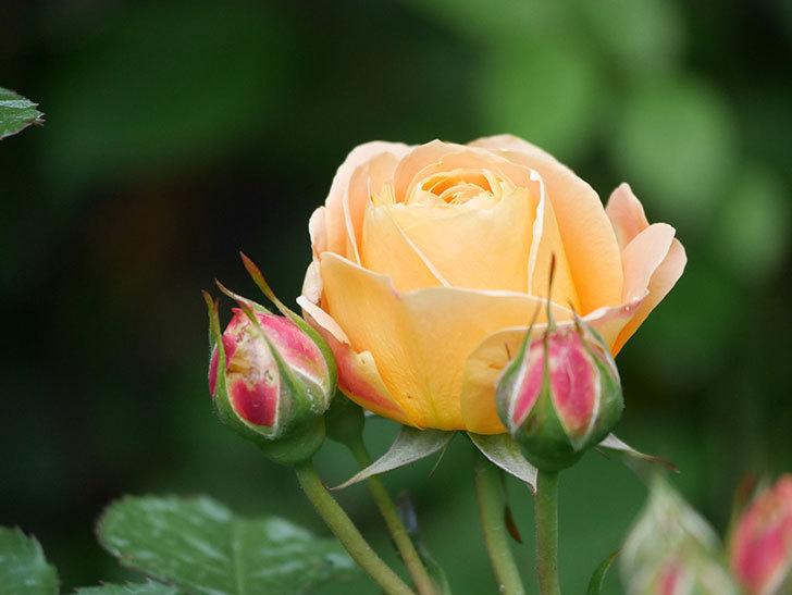 ラ・ドルチェ・ヴィータ(La Dolce Vita)の花が咲いた。木立バラ。2021年-034.jpg