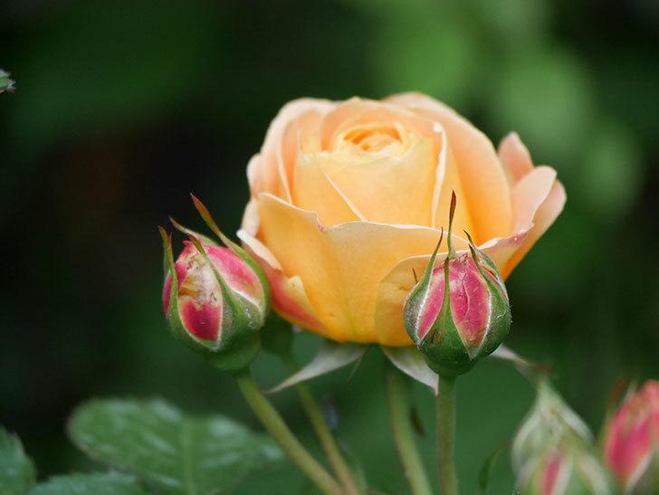 ラ・ドルチェ・ヴィータ(La Dolce Vita)の花が咲いた。木立バラ。2021年-035.jpg