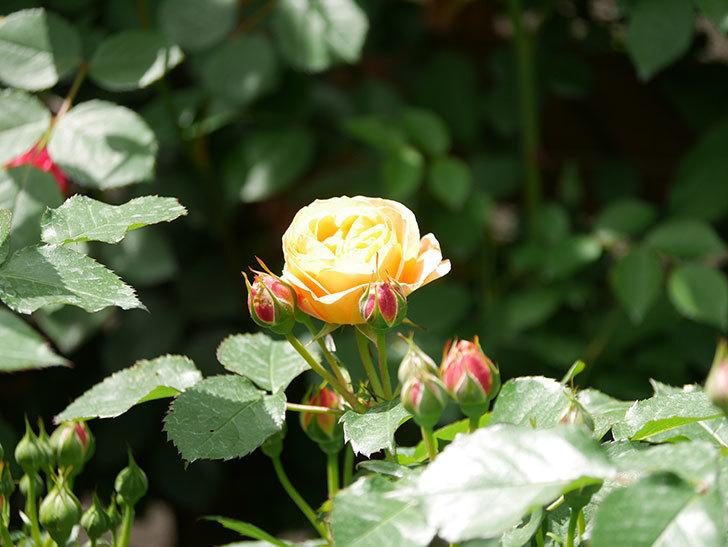 ラ・ドルチェ・ヴィータ(La Dolce Vita)の花が咲いた。木立バラ。2021年-036.jpg