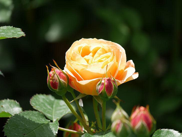 ラ・ドルチェ・ヴィータ(La Dolce Vita)の花が咲いた。木立バラ。2021年-037.jpg