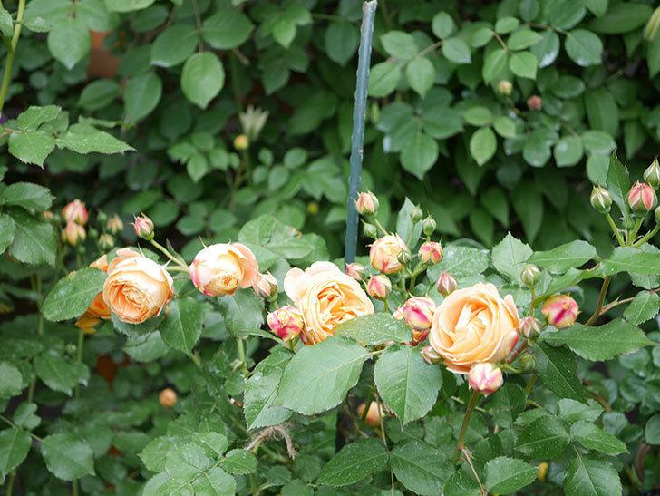 ラ・ドルチェ・ヴィータ(La Dolce Vita)の花が増えてきた。木立バラ。2021年-001.jpg