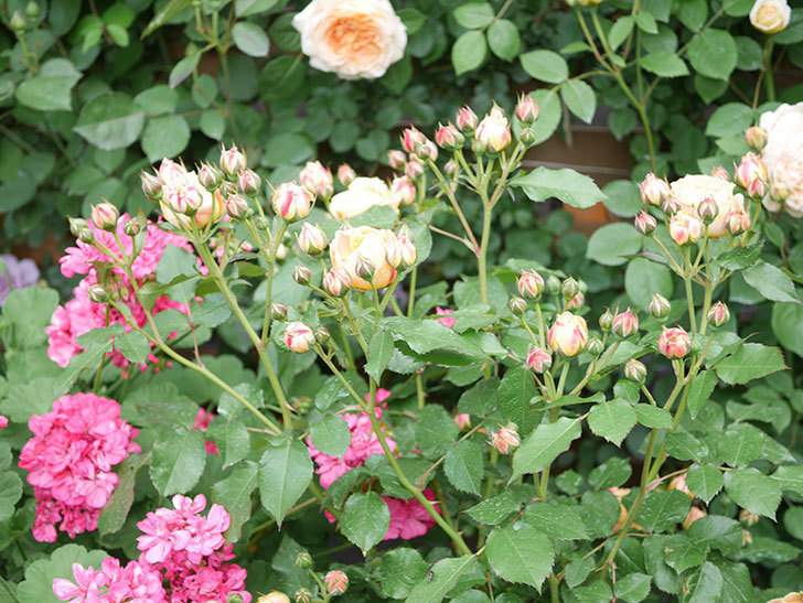 ラ・ドルチェ・ヴィータ(La Dolce Vita)の花が増えてきた。木立バラ。2021年-002.jpg