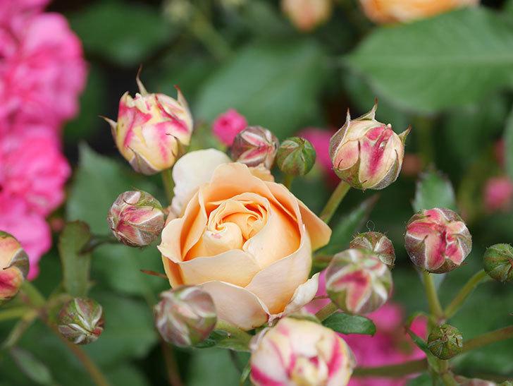 ラ・ドルチェ・ヴィータ(La Dolce Vita)の花が増えてきた。木立バラ。2021年-005.jpg