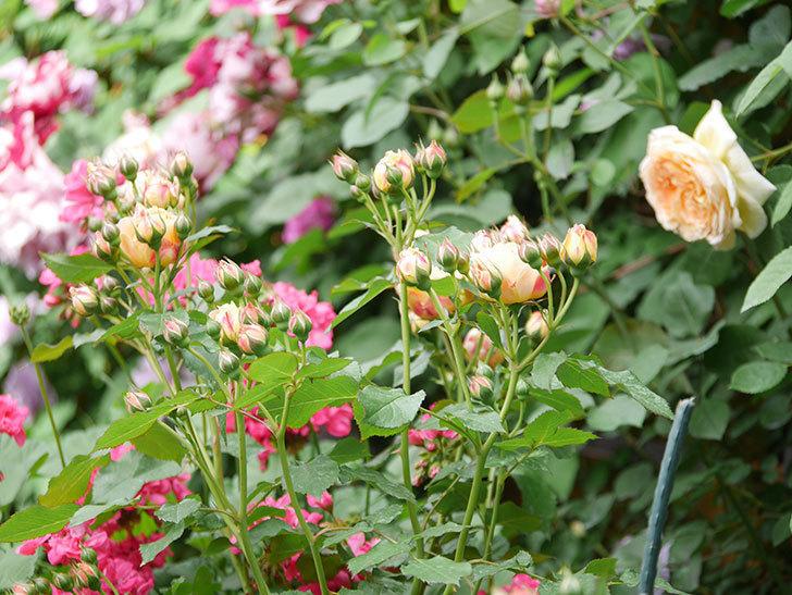ラ・ドルチェ・ヴィータ(La Dolce Vita)の花が増えてきた。木立バラ。2021年-007.jpg