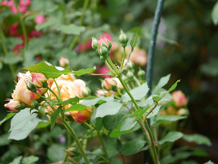 ラ・ドルチェ・ヴィータ(La Dolce Vita)の花が増えてきた。木立バラ。2021年-009.jpg