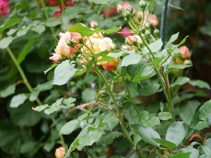 ラ・ドルチェ・ヴィータ(La Dolce Vita)の花が増えてきた。木立バラ。2021年-010.jpg