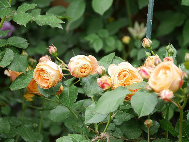 ラ・ドルチェ・ヴィータ(La Dolce Vita)の花が増えてきた。木立バラ。2021年-011.jpg