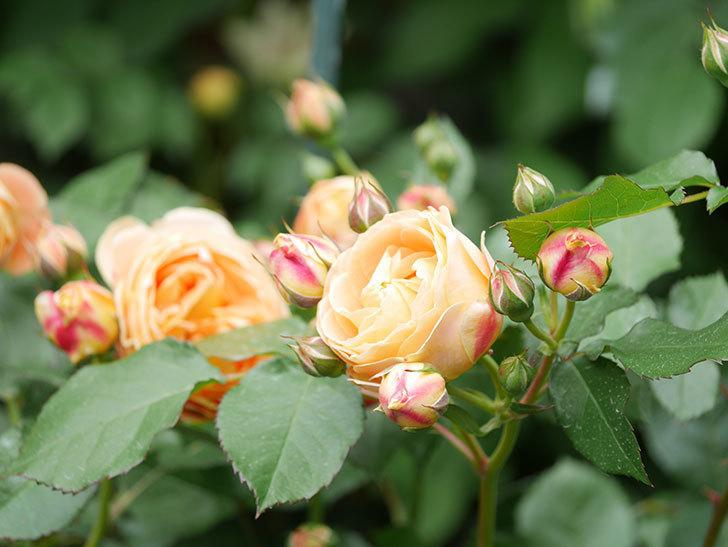 ラ・ドルチェ・ヴィータ(La Dolce Vita)の花が増えてきた。木立バラ。2021年-012.jpg