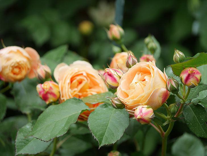 ラ・ドルチェ・ヴィータ(La Dolce Vita)の花が増えてきた。木立バラ。2021年-013.jpg