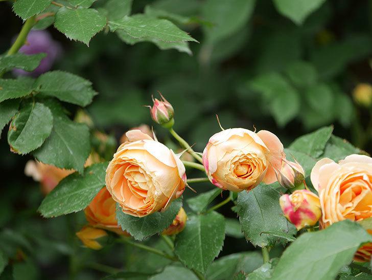 ラ・ドルチェ・ヴィータ(La Dolce Vita)の花が増えてきた。木立バラ。2021年-014.jpg