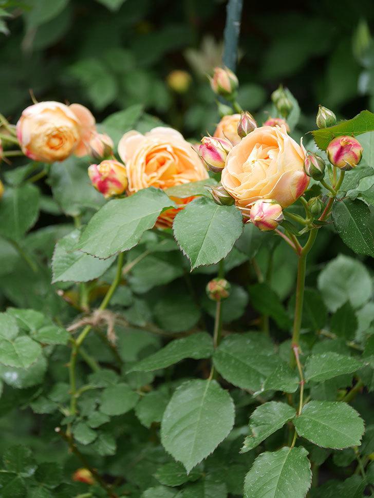 ラ・ドルチェ・ヴィータ(La Dolce Vita)の花が増えてきた。木立バラ。2021年-016.jpg