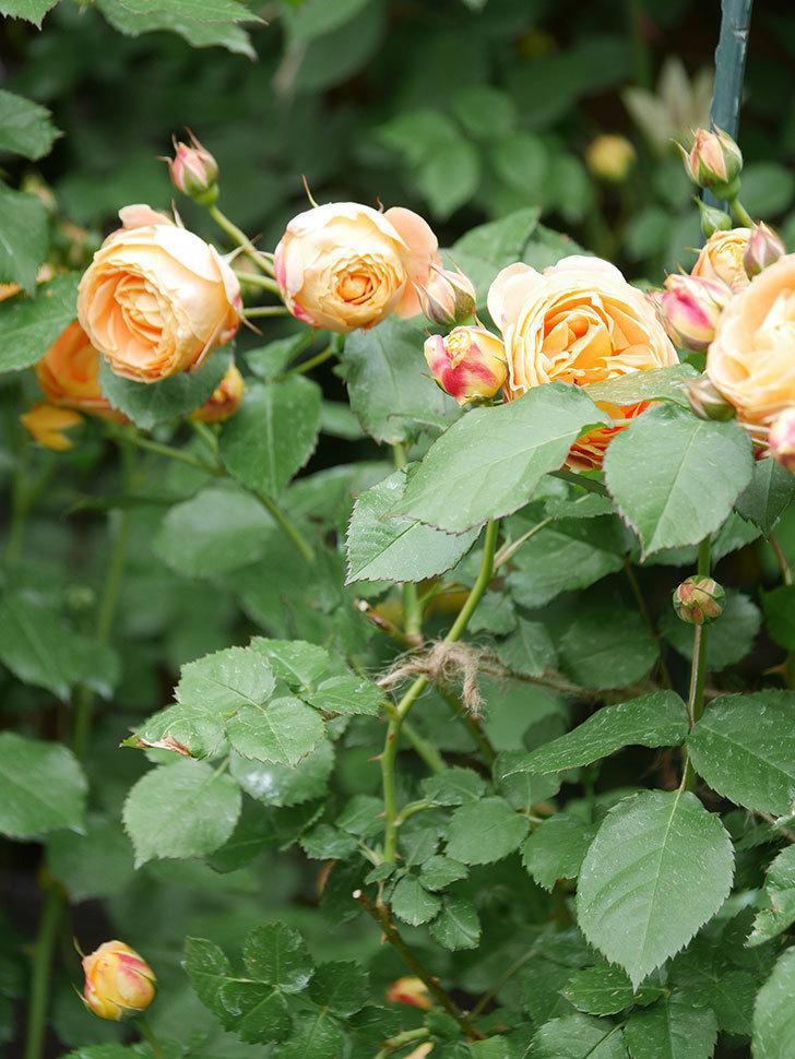 ラ・ドルチェ・ヴィータ(La Dolce Vita)の花が増えてきた。木立バラ。2021年-017.jpg