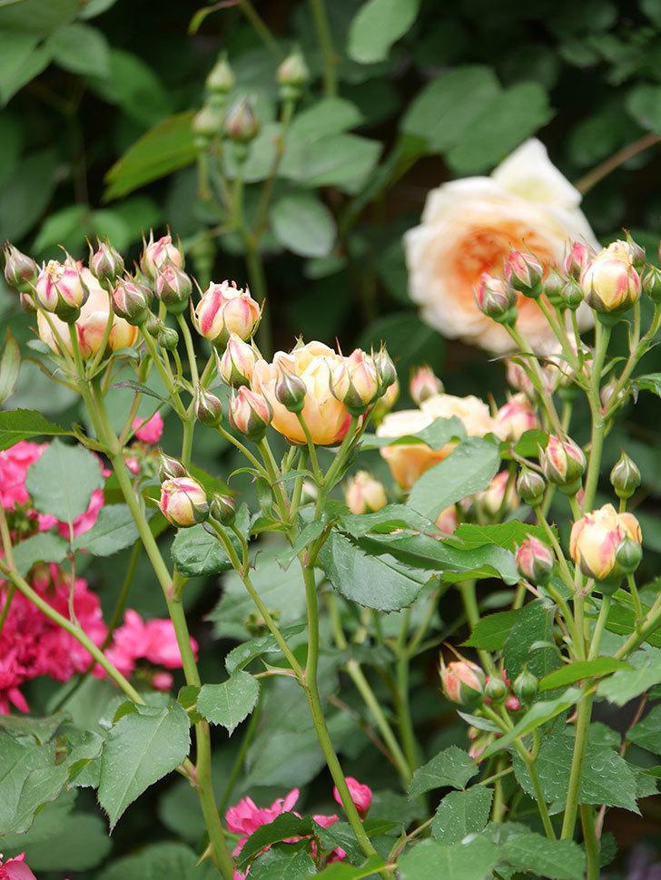 ラ・ドルチェ・ヴィータ(La Dolce Vita)の花が増えてきた。木立バラ。2021年-018.jpg
