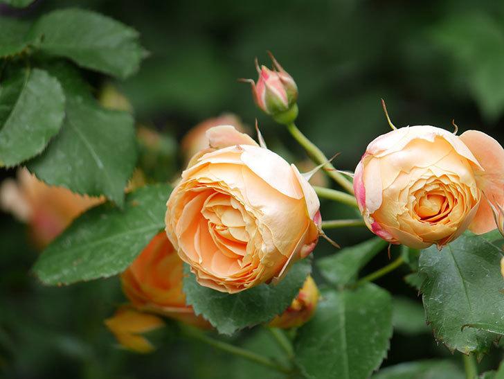 ラ・ドルチェ・ヴィータ(La Dolce Vita)の花が増えてきた。木立バラ。2021年-019.jpg