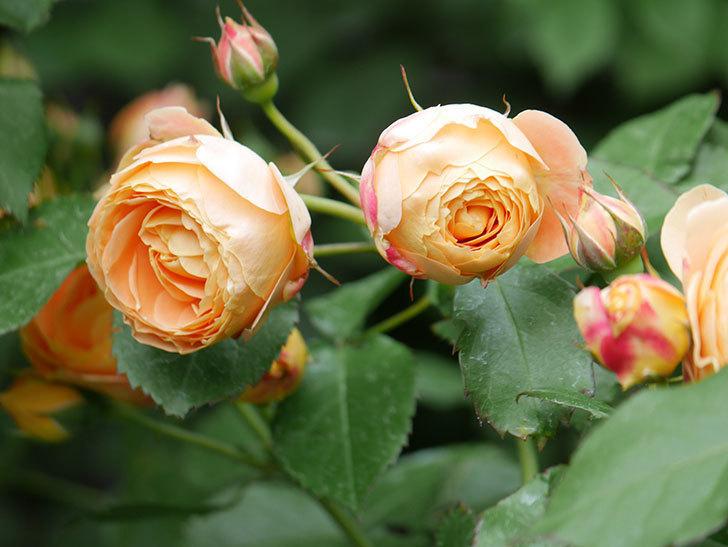 ラ・ドルチェ・ヴィータ(La Dolce Vita)の花が増えてきた。木立バラ。2021年-020.jpg