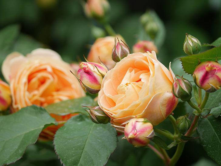 ラ・ドルチェ・ヴィータ(La Dolce Vita)の花が増えてきた。木立バラ。2021年-023.jpg