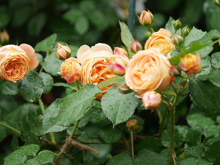 ラ・ドルチェ・ヴィータ(La Dolce Vita)の花が増えてきた。木立バラ。2021年-024.jpg