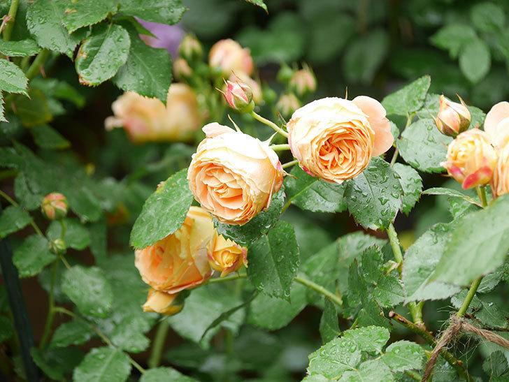 ラ・ドルチェ・ヴィータ(La Dolce Vita)の花が増えてきた。木立バラ。2021年-025.jpg
