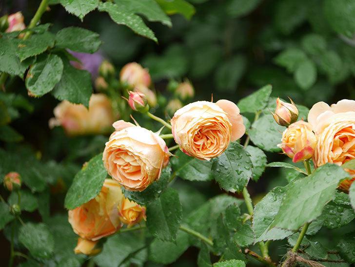 ラ・ドルチェ・ヴィータ(La Dolce Vita)の花が増えてきた。木立バラ。2021年-026.jpg